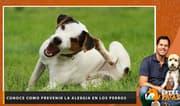 Conoce como prevenir la alergia en los perros - Entre Patas
