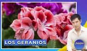 Señales con Jhan Sandoval: Los geranios
